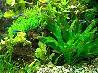 30 Aquarienpflanzen & 1000 ml Flockenfutter Hauptfutter, Wasserpflanzen
