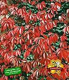 BALDUR-Garten Wilder Wein 'Quinquefolia', 1 Pflanze schnellwachsende Kletterpflanze winterhart