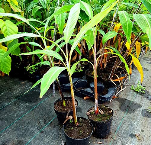 Musa nagensium Nagaland Banane essbare Früchte winterhart