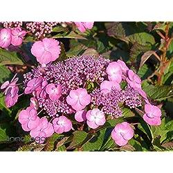 Gartenhortensie / Bauernhortensie `Cotton Candy´ Größe 5-L-Topf