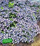 BALDUR-Garten Winterharte Zwerg-Hortensien 'Koreana', Hydrangea marcrophylla 1 Pflanze Bodendecker winterhart