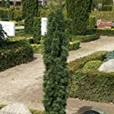 Schmale Säuleneibe 'Fastigiata Robusta' 3LC. 30/40 cm
