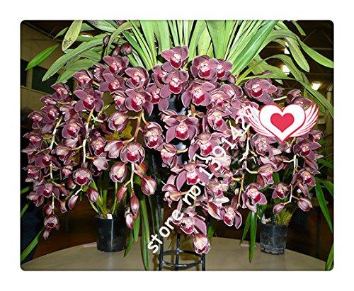 21 couleurs 100 pcs graines de Cymbidium, rares graines d'orchidées Saisons Bonsai, plantes en pot, fleurs bleues pour la maison et le jardin,