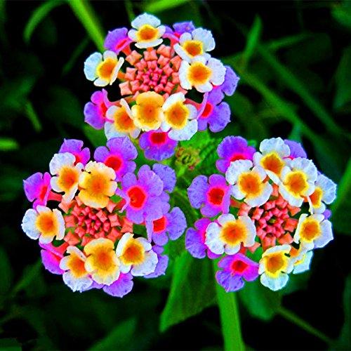 Nuovo arrivo !!! 100 pc / lotto Lantana camara semi di fiori, Rare pianta erbacea perenne Splendida Bonsai impianto per il giardino domestico di seme in vaso 6