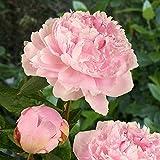 Pfingstrose Sarah Bernhardt - 1 pflanze
