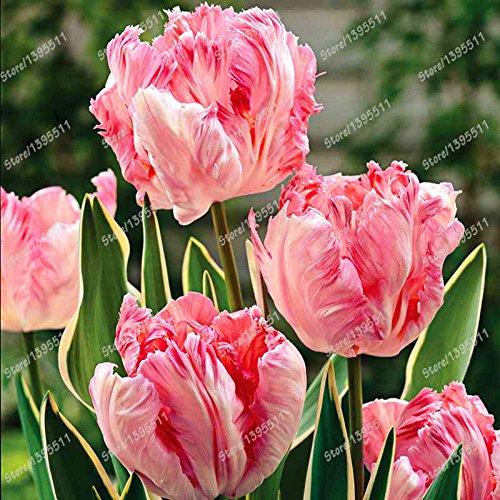 Galleria fotografica 2 lampadine vero bulbi di tulipano, fiore di tulipano, (non tulipano semi), bulbi da fiore, piante all'aperto, la crescita naturale, bonsai pentola per il giardino di casa