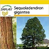 SAFLAX - Set per la coltivazione - Sequoia gigante - 50 semi - Sequoiadendron gigantea