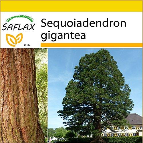 SAFLAX - Anzucht Set - Berg - Mammutbaum - 50 Samen - Sequoiadendron gigantea