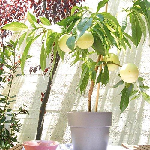Gartenbau Friedrichs weißer Balkon-Pfirsich 'FRUIT ME® ICEPEACH weiß' im 5 Liter Topf.