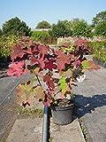 Eichenblatthortensie Ruby Slippers 30-40 cm Strauch für Sonne-Halbschatten Heckenpflanze weiß-rosa blühend Gartenpflanze winterhart 1 Pflanze im Topf