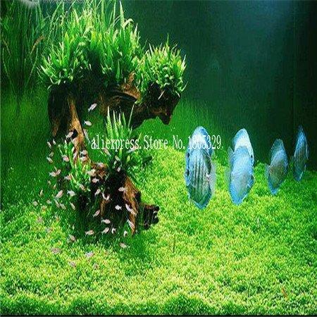 FARMERLY Samen Paket: Seedss Aquarium Aquarium Dekoration s Samen Seedss Samen 100seeds / bag: 6 (Fish Tank Dekorationen Billig)