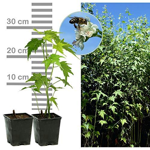 10 x Sidapflanze: Bienenweide & Energie-Pflanze, Bienen-Futter, langblühend, bot. Sida heramphrodita, Virginiamalve (10 Stk im 9-cm-Topf)
