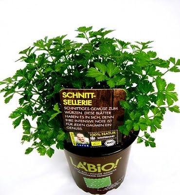 Bio Schnittsellerie Kräuterpflanze von LÀBiO! Kräuter auf Du und dein Garten