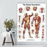 XIAOXINYUAN Die Menschliche Anatomie Muskeln System Art Poster Print Körper Karte Canvas Wall Bilder Für Medizinische Ausbildung Home Dekor 60 X 80 cm Ohne Rahmen