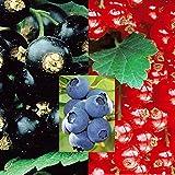 Beeren Kollektion (3x1) - 3 pflanzen