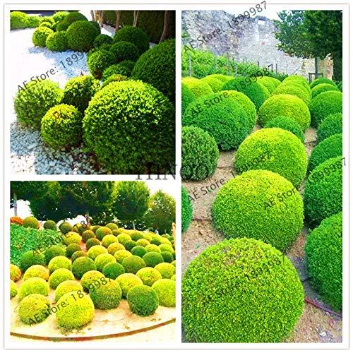 plentree giardino ginepro balls bonsai, 100pcs / pack, flores albero verde, bonsai per balcone, facile da coltivare