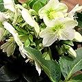 Christrose Helleborus niger Praecox von VDG-Stauden auf Du und dein Garten