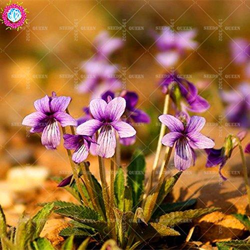 OFF !! 50 pcs / sac réel Viola graines de plantes de graines de légumes et de fruits en pot Maison et jardin 95% fleurs bonsaï taux de germination 1