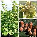 Webbs Preisnuss, 3-jähriger Haselnussstrauch, Fruchtstand häufig mit 10 Nüssen 120-150 cm 9,5 L Topf von Grüner Garten Shop - Du und dein Garten