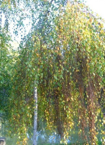 Tree Seeds Online - Betula -pendelnd. Weinen Birke. 50 Samen - 5 Packungen