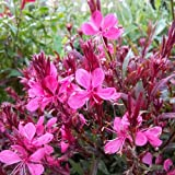 Hortiflor Bureau - Gaura Lindheimeiri'Rose vif à feuillage pourpre' (lot de 3 pieds)