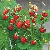 Kölle Monats-Erdbeere, 9 cm Topf