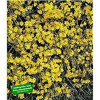 BALDUR Garten Echter Winter Jasmin 1 Pflanze Jasminum Nudiflorum