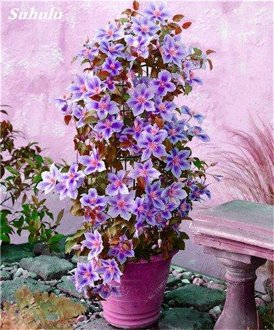 100 Pcs Clematis Graines de plantes Belle Paillage Graines de fleurs Bonsai ou un pot de fleurs vivaces pour jardin Mix Couleurs 11