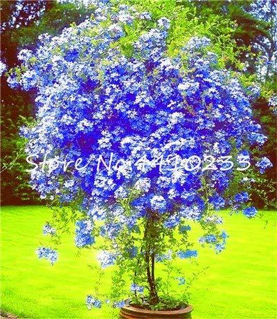 Pinkdose 100 Stücke Plumbago Auriculata Bonsai Exotische Staude Blumen Bonsai Haus Garten Dekor Pflanze Ceratostigma Plumbaginoides Bonsai: c