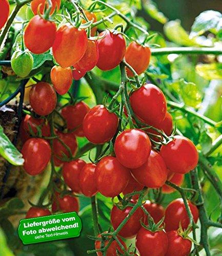 BALDUR-Garten Snack-Tomate Romello F1 6 Pflanzen Kirschtomaten