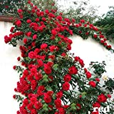 Aiden Gardens Red Climbing Rose Plant Rosa Multiflora Perennial Fragrant Flower 1 Grafted Live Plant