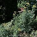 Weinraute Jackmans Blue - Ruta graveolens von Baumschulen bei Du und dein Garten