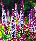BALDUR-Garten Veronika 'Cupido', 2 Knollen Veronica spicata winterhart