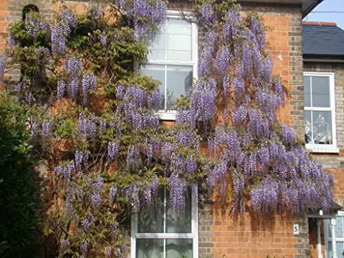 2x-chinese-wisteria-sinensis-starter-plants-in-7cm-pot-hardy-climber-violet-flowers