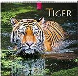 Tiger: Original Stürtz-Kalender 2020 - Mittelformat-Kalender 33 x 31 cm -