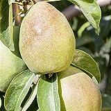 Birnen Baum 'Köstliche von Charneu' mittel Pyrus com. Birnenbaum im 7,5L Topf 150-200cm winterharter Obstbaum