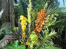 Cymbidium: Orchid  (English Edition) di [Baron, Maya]