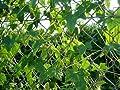 10 Samen Mexikanische Minigurke - sehr dekorativ und schmackhaft