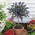 Hochstämmiger Schmetterlingsflieder - 1 baum von Meingartenshop bei Du und dein Garten