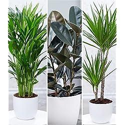 """BALDUR-Garten Zimmerpflanzen-Mix""""XXL"""", 3 Pflanzen 1 Pflanze Areca Palme, 1 Pflanze Gummibaum Abidjan und 1 Pflanze Dracena Marginata"""