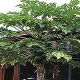 Tropischer Melonenbaum / Papaya