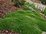 Zierpflanze Dunkelgrün Moss Sternmoos Samen 100Pcs, Bodendecker Landschaft Dekoration Gras Saatgut Farn Bryophyte Teppichbildend Blumen Laubmoose Schnellwachsend Schleichende Zierpflanzen