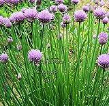 Portal Cool 300 Jardãn de Hierbas cebolletas Seeds Sano no GMO aromáTico cebolleta perennes
