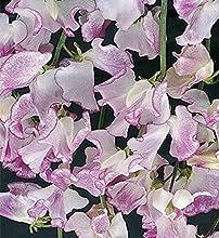 Wicken Edelwicken Lilac Ripple einjährig Höhe 200 cm Samen