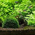 KEKEDA Aquarium Marimo Moos Ball Live Pflanzenfilter Naturspielzeug nachhaltig geerntet von KEKEDA auf Du und dein Garten
