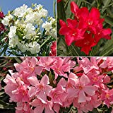 Mediterranean Oleander Collection (Set of 3 colours 40cm tall)