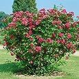 Heckenrose, rot, 2ltr Topf, 1 Stck