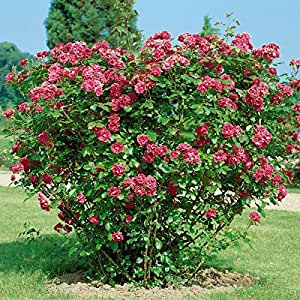 dominik blumen und pflanzen heckenrose rot 2ltr topf 1 stck garten. Black Bedroom Furniture Sets. Home Design Ideas
