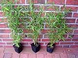 10 x Bambus, 40-50 cm ab Topf, Fargesia murielae, winterharter Gartenbambus