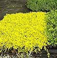 Pfennigkraut Aurea - Lysimachia nummularia Aurea von Baumschule bei Du und dein Garten